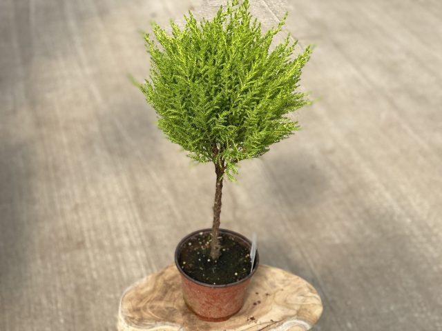 """Lemon Cypress Topiary 6"""""""