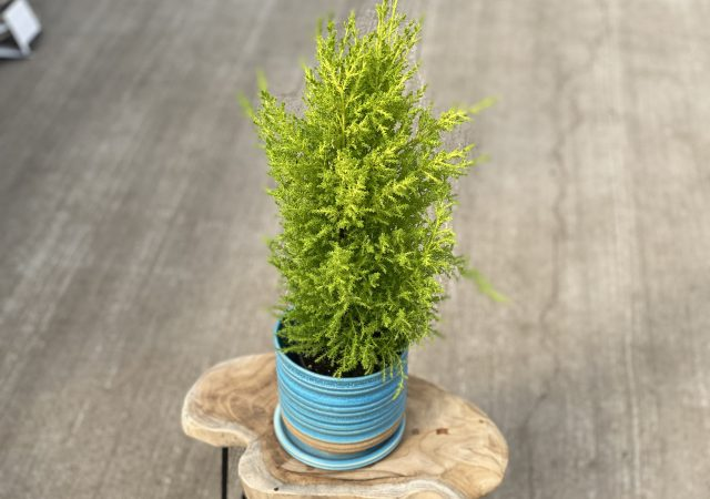 Lemon Cypress 4""