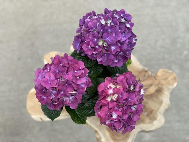 Purple Hydrangea 6″