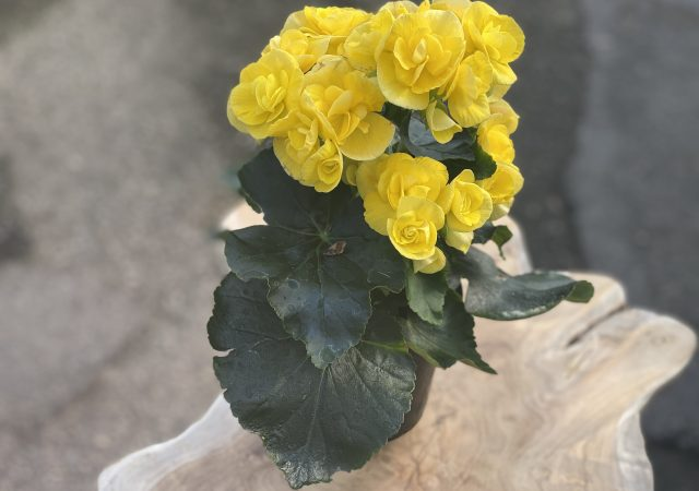 """Reiger Begonia 4"""" -Yellow"""