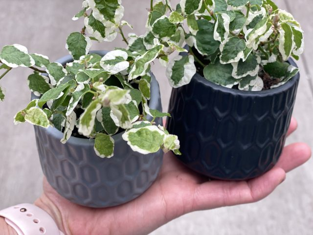 """Potted Ficus repens 3"""""""