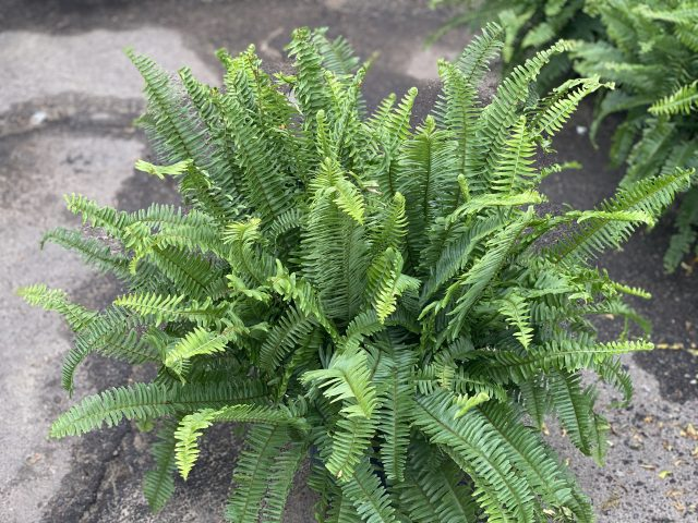 Kimberly Queen Fern