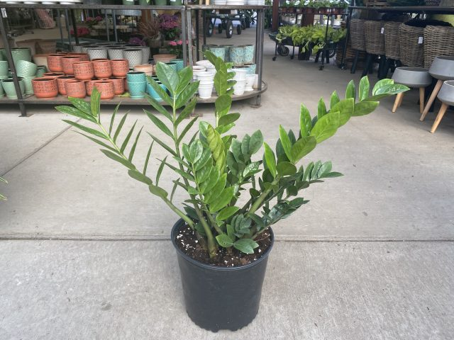 ZZ Plant