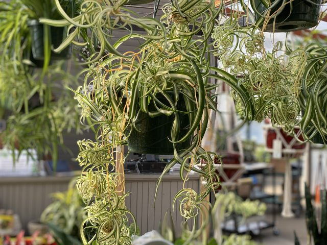 Spider Plant Bonnie