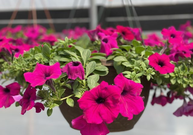 Petunia Wave basket