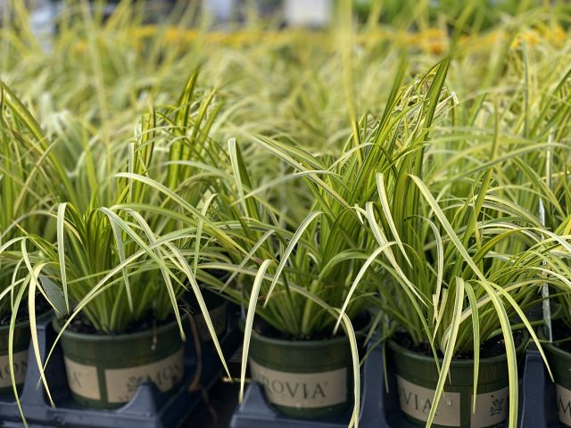 Acorus-Sweet Flag Grass