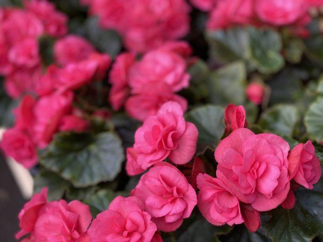 """Begonia Rieger 4"""""""