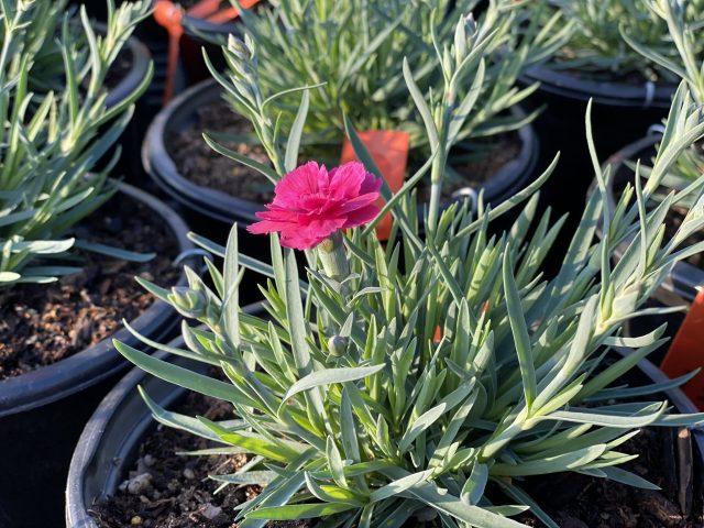 Dianthus 'Everlast'