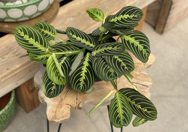 Maranta Lemon
