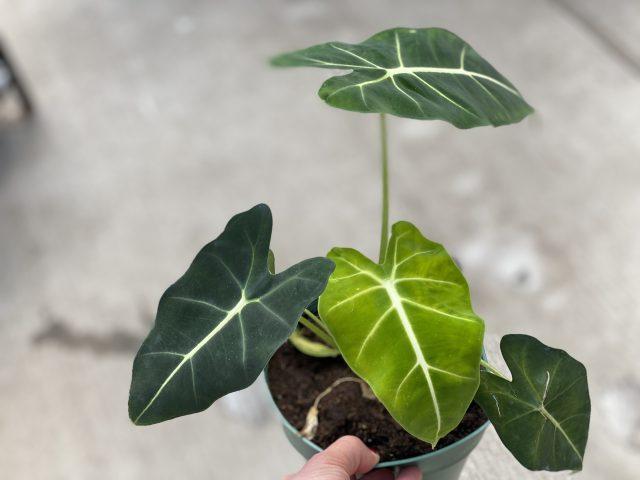 Alocasia Green Velvet