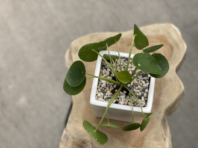 Potted Pilea 5""