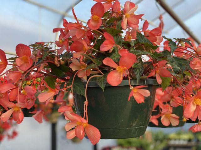 """Begonia 10"""" HB Waterfalls Angel Soft Orange"""