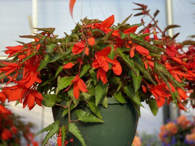 """Begonia 10"""" HB"""