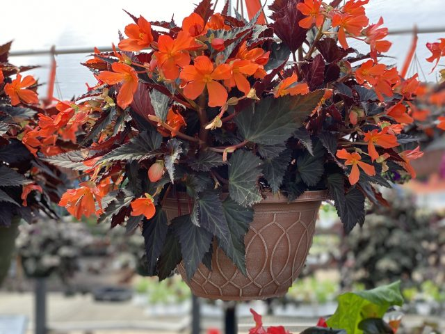 Begonia upright fire
