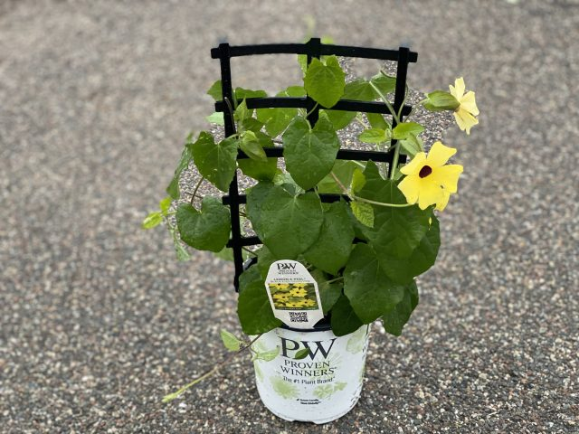 Black Eyed Susan Vine 6""