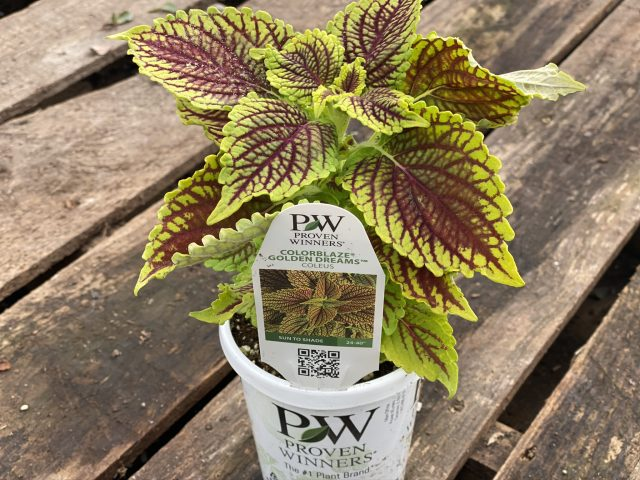 Sun Coleus-Colorblaze Golden Dreams 4""