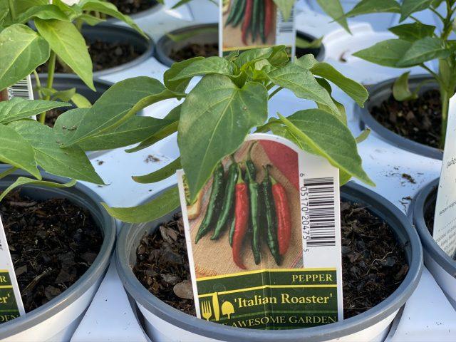 """Pepper 'Italian Roaster' 4"""""""