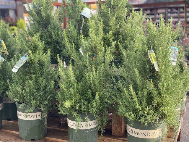 Rosemary Topiary #5