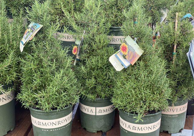 Rosemary Topiary #2