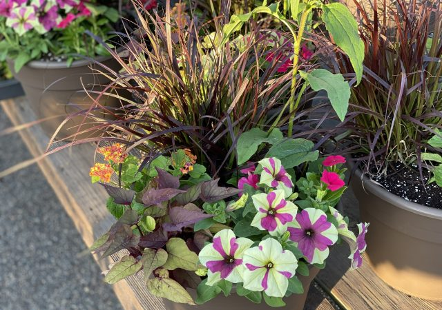 "Custom Planter 12"" Full Sun with Purple and Cream Petunia"
