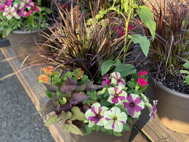 "Custom Planter 12"" Full Sun with Purple and Cream Petunia"