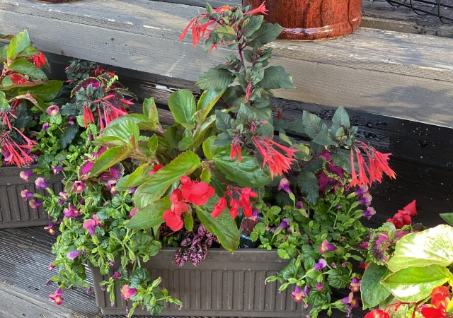 "Custom Planter 18"" Shade Windowbox with Fuchsia and Torenia"
