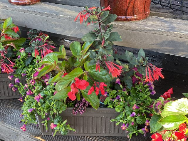 "Custom Planter 18"" Shade Windowbox with Fuchsia and Torenia"