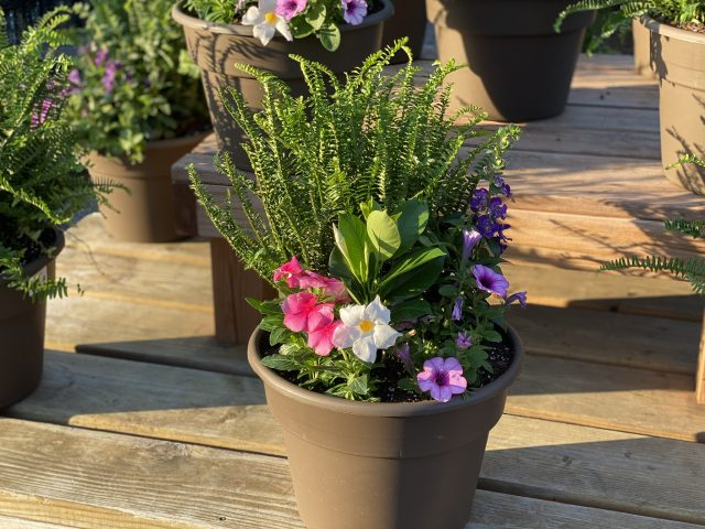 "Custom Planter 12"" Full Sun with Pink Vinca and KQ Fern"