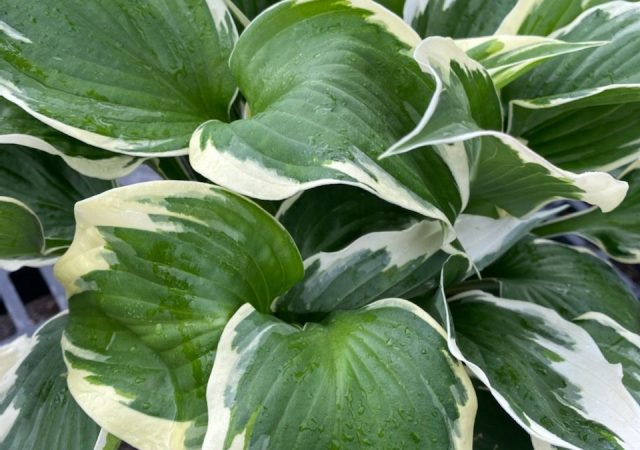 Hosta Patriot #1