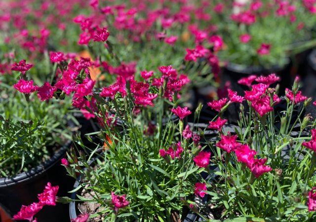 Dianthus Kahori Scarlet #1