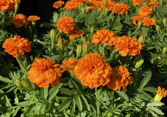 "Marigold 6"" Orange"