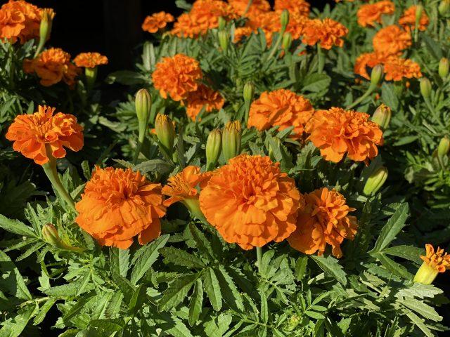 "Marigold 6"" Orange"