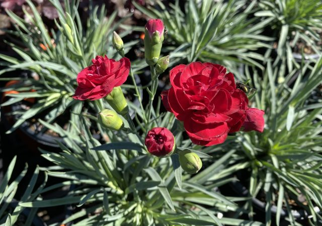 Dianthus Scent First Passion #1