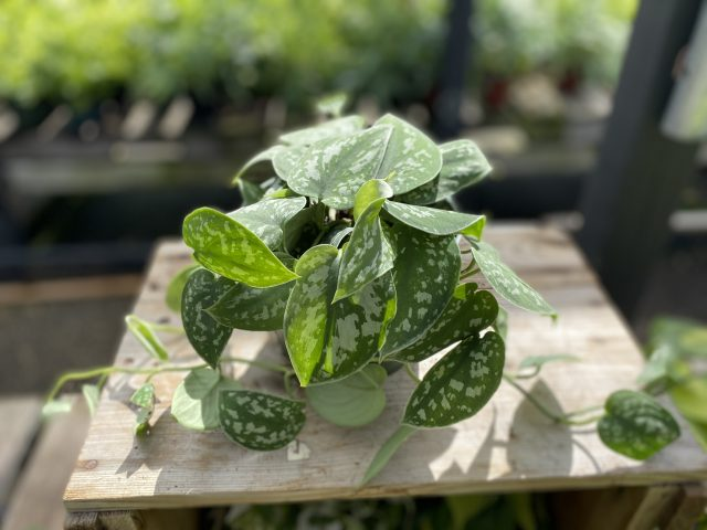 Scindapsus Silver Satin Philodendron
