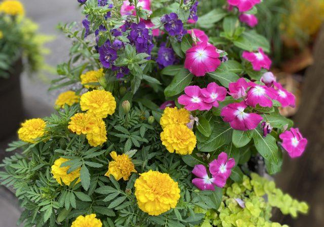 "Custom Planter 12"" Full Sun Croton Rudbeckia Vinca and Marigold"