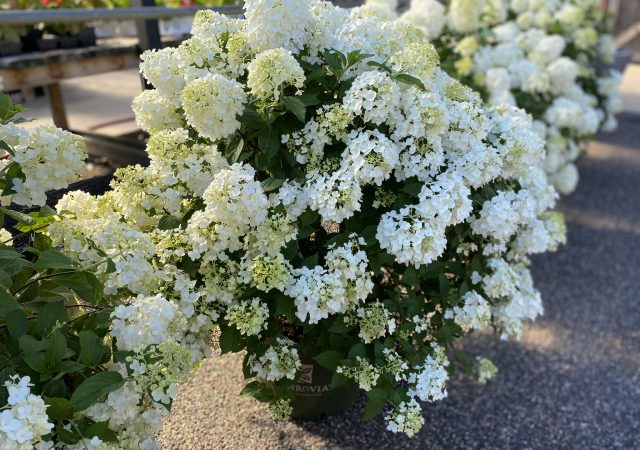 Strawberry Shake Hydrangea