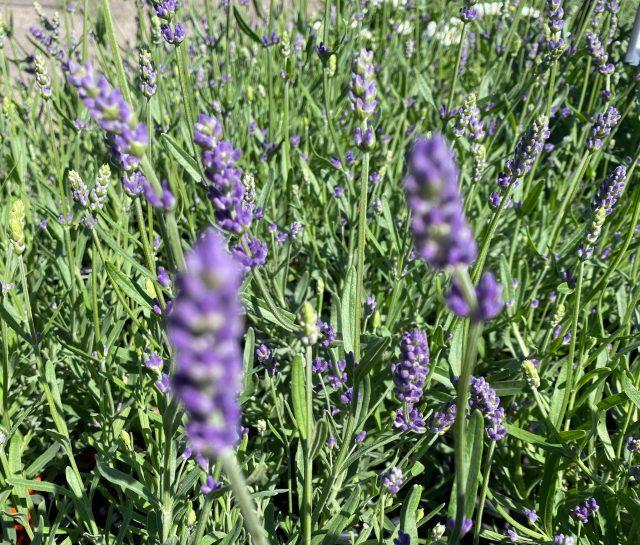 Lavender Super Blue