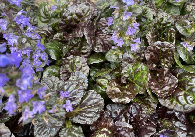 Ajuga Black Scallop 4""