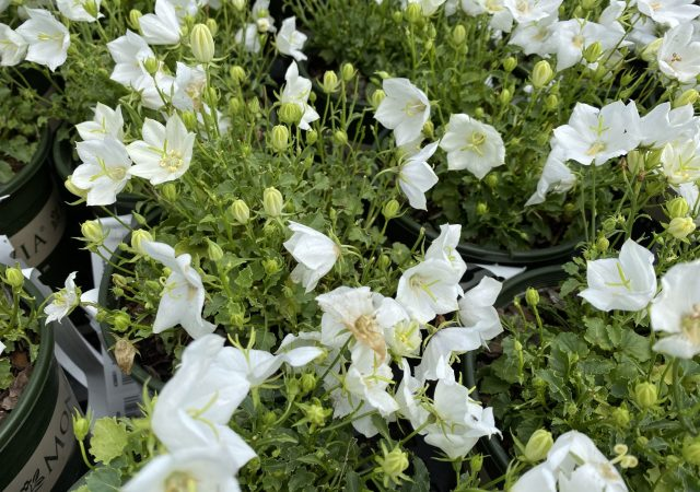 Campanula Pristar White Bellflower #1