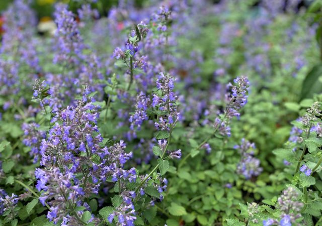 Nepeta Blue Wonder #1