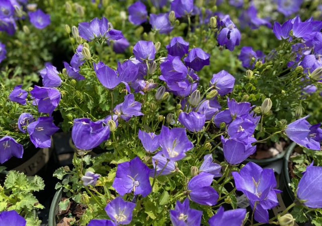 Campanula Pristar Deep Blue Bellflower #1