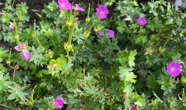 Geranium New Hampshire Purple #1