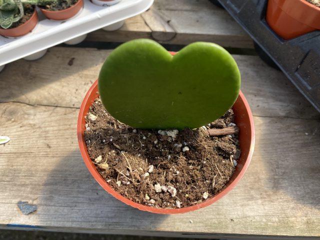Hoya kerrii, green