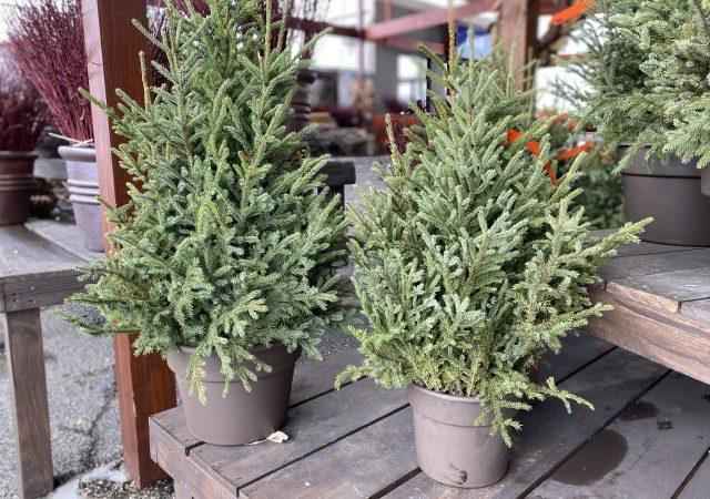 Spruce Top Pots