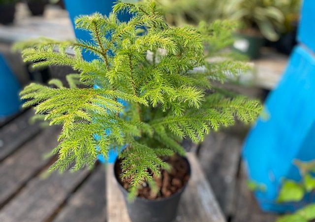 """Norfolk Pine 6"""""""