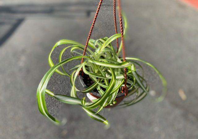 Spider plant Bonnie HB