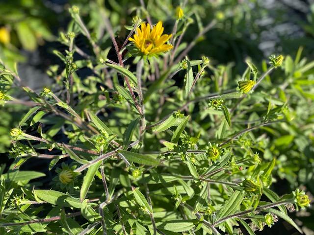 Rudbeckia American Goldrush