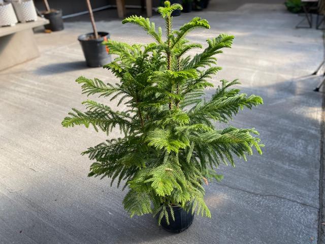 """Norfolk Pine 10"""""""