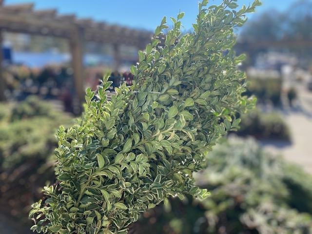 Oregonia