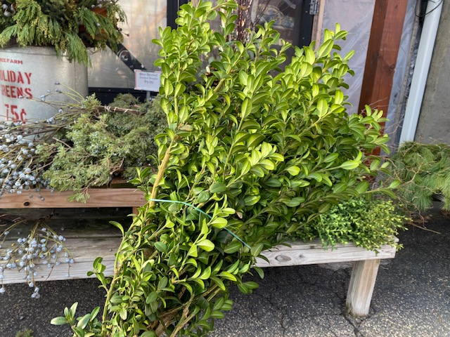 Boxwood Bundle